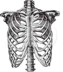 Gövde Kemikleri Ve Anatomisi