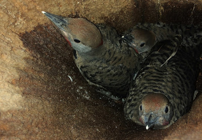 Three Northern Flicker Woodpecker chicks in tree hollow