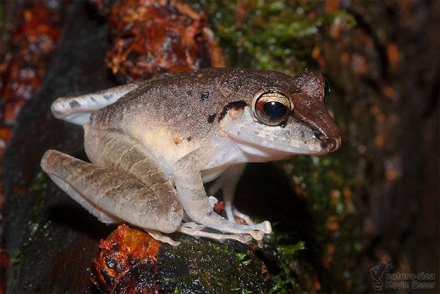 Craugastor crassidigitus - Slim-fingered Rain Frog