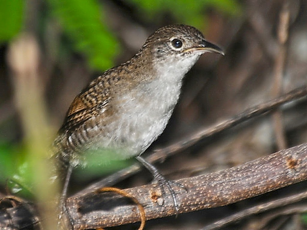 Zapata wren bird sound