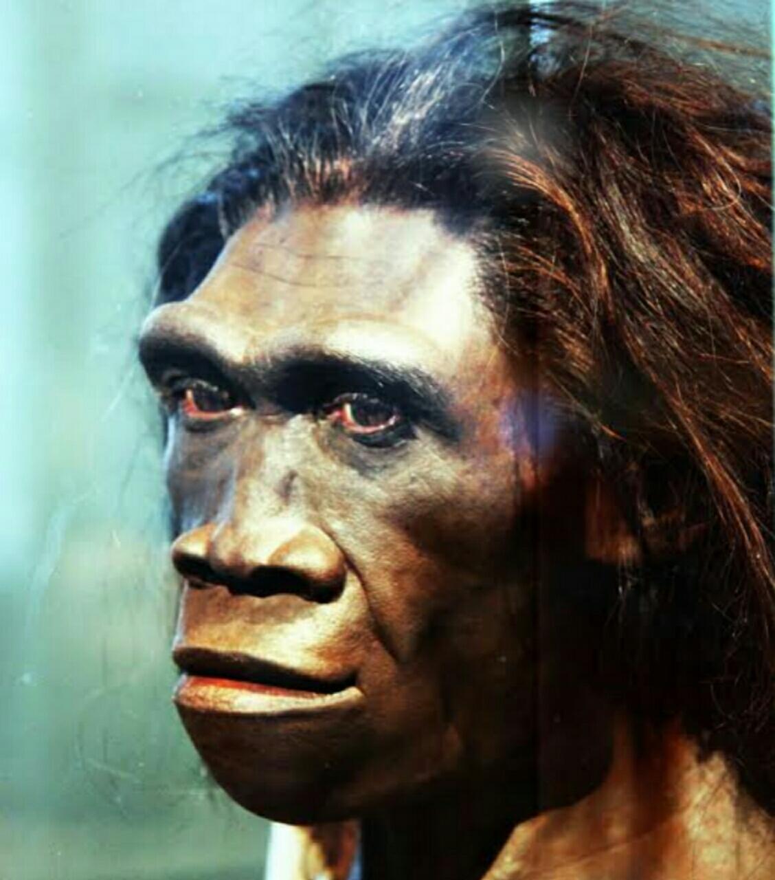Ciri Ciri Umum Manusia Purba Pithecanthropus Mojokertenis Dan Pithecanthropus Erectus Dasaguru