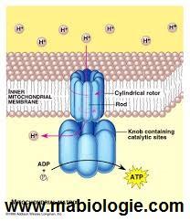 le transport des protons H+ vers la face externe de la membrane mitochondriale