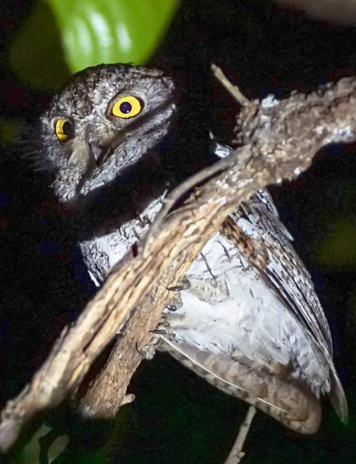 Birds of India - Image of Oriental scops owl - Otus sunia