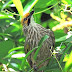 16 Fakta dan Informasi Tentang Burung Cucak Rowo