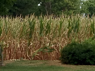 Southern Illinois corn field in drought conditions 2012 July