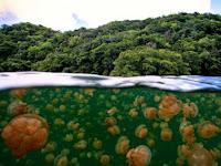 Pesona Eksotis Danau Ubur-Ubur Di Indonesia