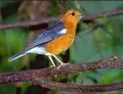 Kisaran Harga Terbaru Dan Berbagai Jenis Obat/Vitamin Untuk Mengatasi Masalah Pada Burung Anis Merah Paling Lengkap