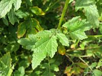 Σινάπι-Sinapis alba