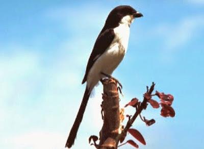 4 Solusi Dan Cara Akurat Mengatasi Burung Cendet Yang Macet Berbunyi