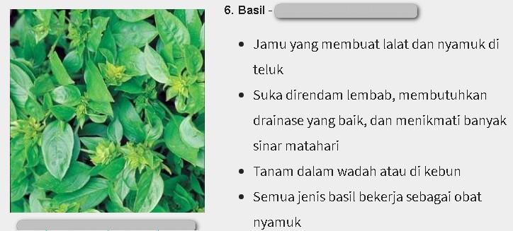 Daun basil adalah daun kemangi