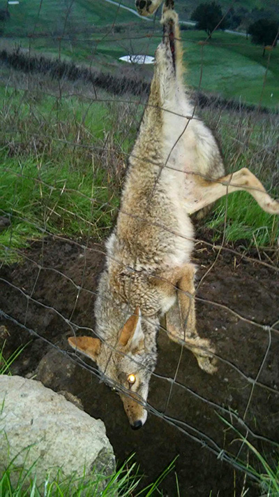 Wildlife Emergency Services Blog Coyote Caught On Barbed