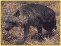 hyena_Crocuta crocuta pictures