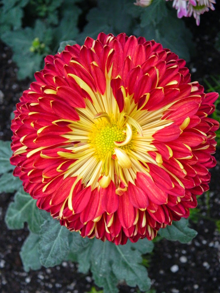 Allan Gardens Conservatory Fall Chrysanthemum Show 2014 red mum by garden muses-not another Toronto gardening blog
