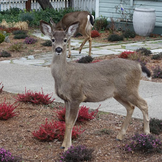 Photo of quizzical deer.