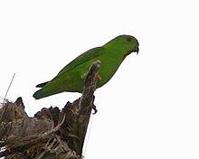 Dalam bahasa Inggris dikenal juga dengan nama  Mengenal Burung Serindit Sulawesi