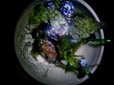 スネールが発生した睡蓮鉢を利用したオープンアクアリウム