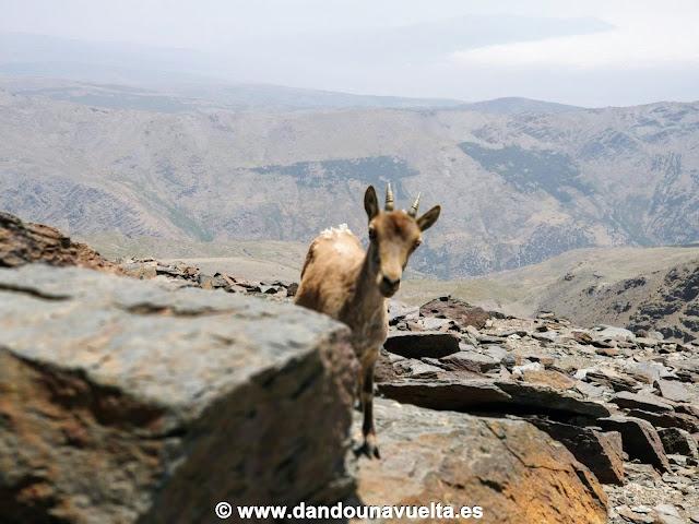Cabra montesa en la cima del Mulhacén