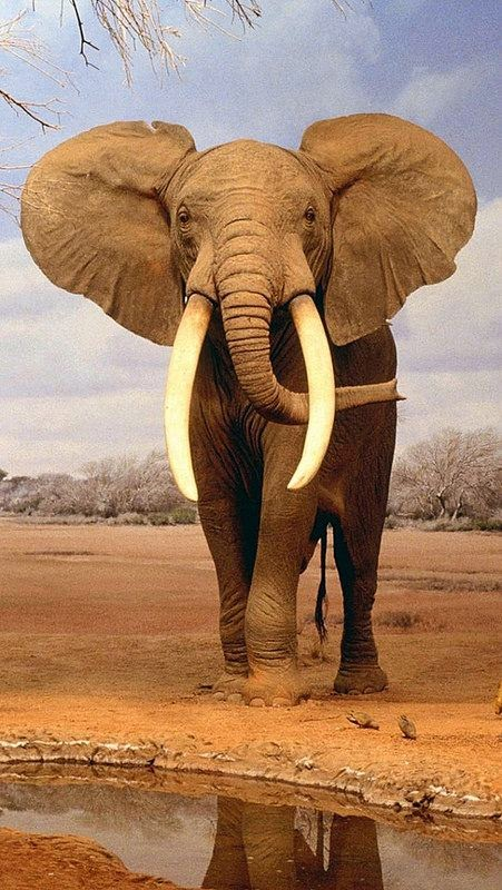 image and information about elephants