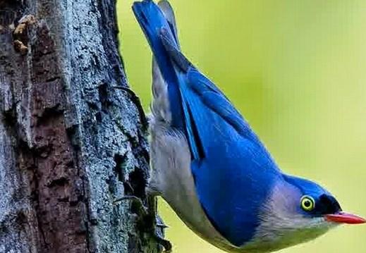 Mengetahui Habitat Asli Dan Tempat Sarang Burung Rambatan Di Alam Liar Kicau Mania