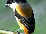 Menjinakkan Burung Cendet Bakalan Muda Hutan