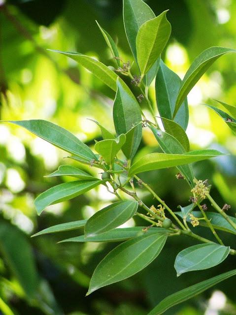 Vệ châu ô dược - Cocculus laurifolius - Nguyên liệu làm thuốc Chữa Đi Lỏng-Đau Bụng