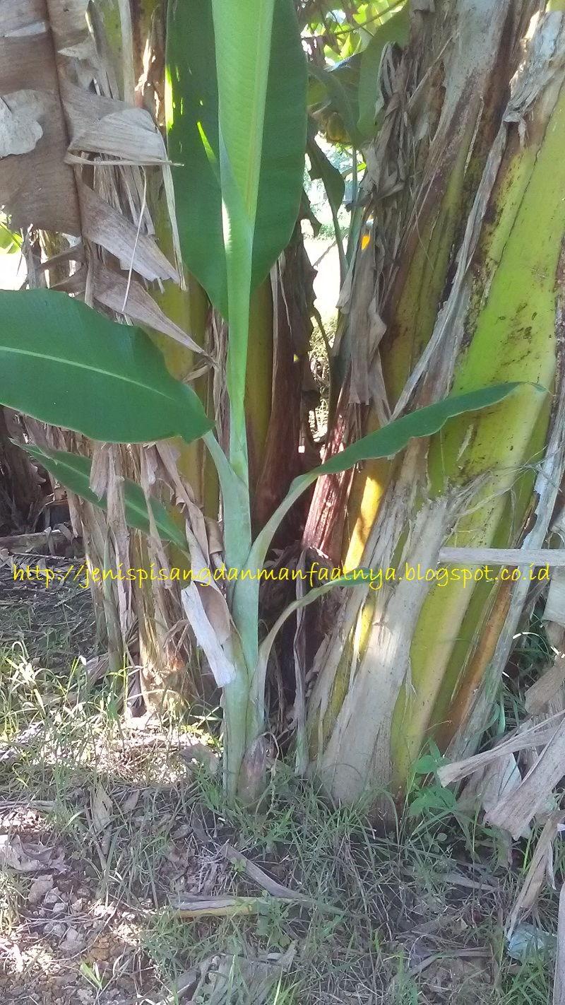 Gambar Anakan Pohon Pisang Kepok Putih-Gambar Pisang Kepok Putih