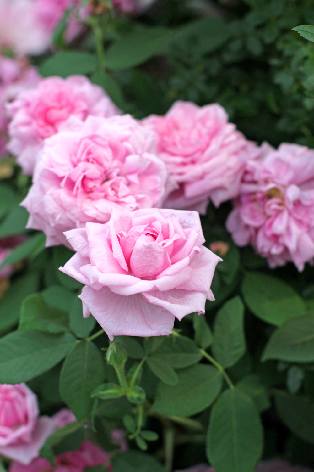Pink roses at Chelsea Flower Show 2018 - London lifestyle blog