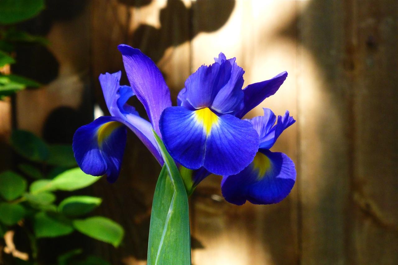 iris, bulb, flower, purple iris
