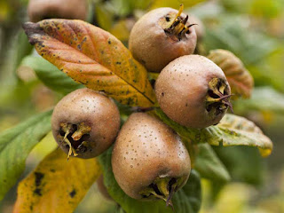 african medlar fruit images