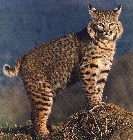 Bobcat | Animal Wildlife