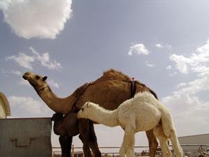 9ab8d8a2c Riyadh - KSA رياض - السعودية العربية: Camel Souq