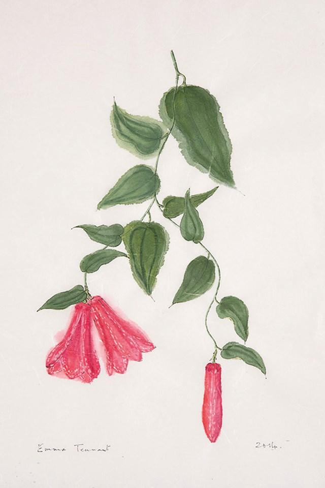 ciao domenica emma tennant botanical artist