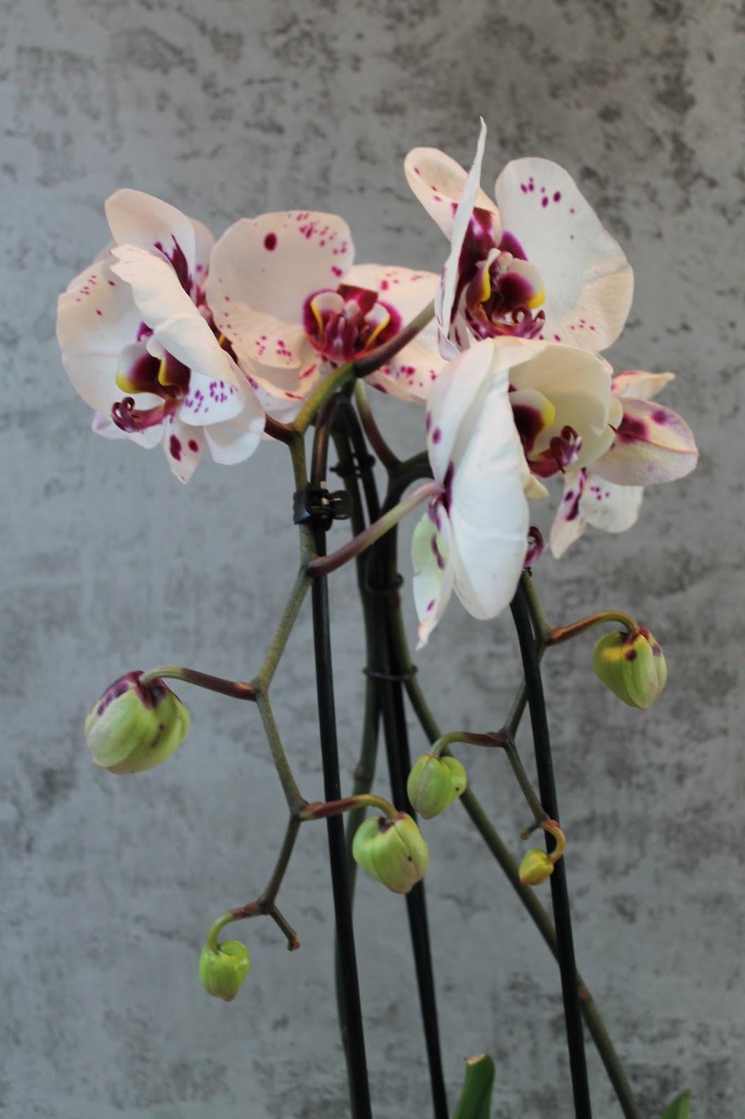 beates kreative welten phalaenopsis orchidee royal dalmation cascade. Black Bedroom Furniture Sets. Home Design Ideas