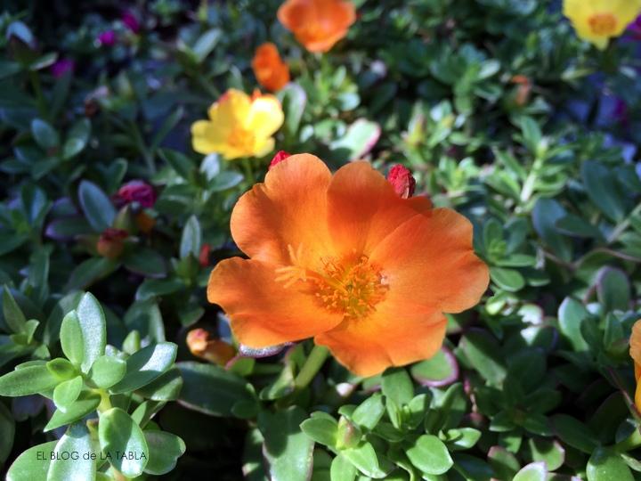portulaca umbraticola (verdolaga) flor color naranja