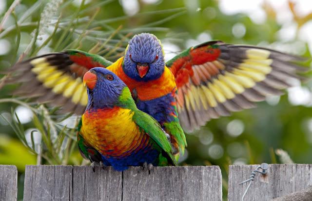 Rainbow Lorikeet salah satu burung kakak tua paling cantik dan indah