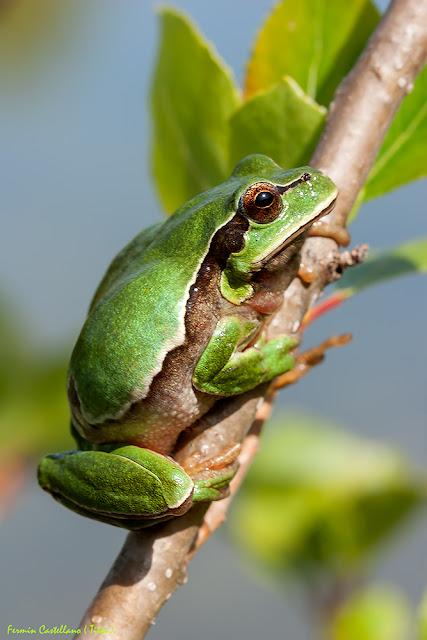 Rana de San Antonio (Hyla arborea)
