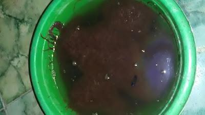 Cara Cari Cacing Rambut / Sutra Untuk Pakan Ikan Cupang