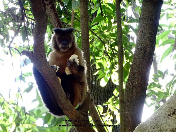 Macaco Prego fazendo um lanche da tarde no PEJ