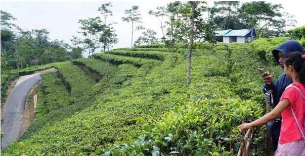 Kebuh teh di puncak Kulon Progo