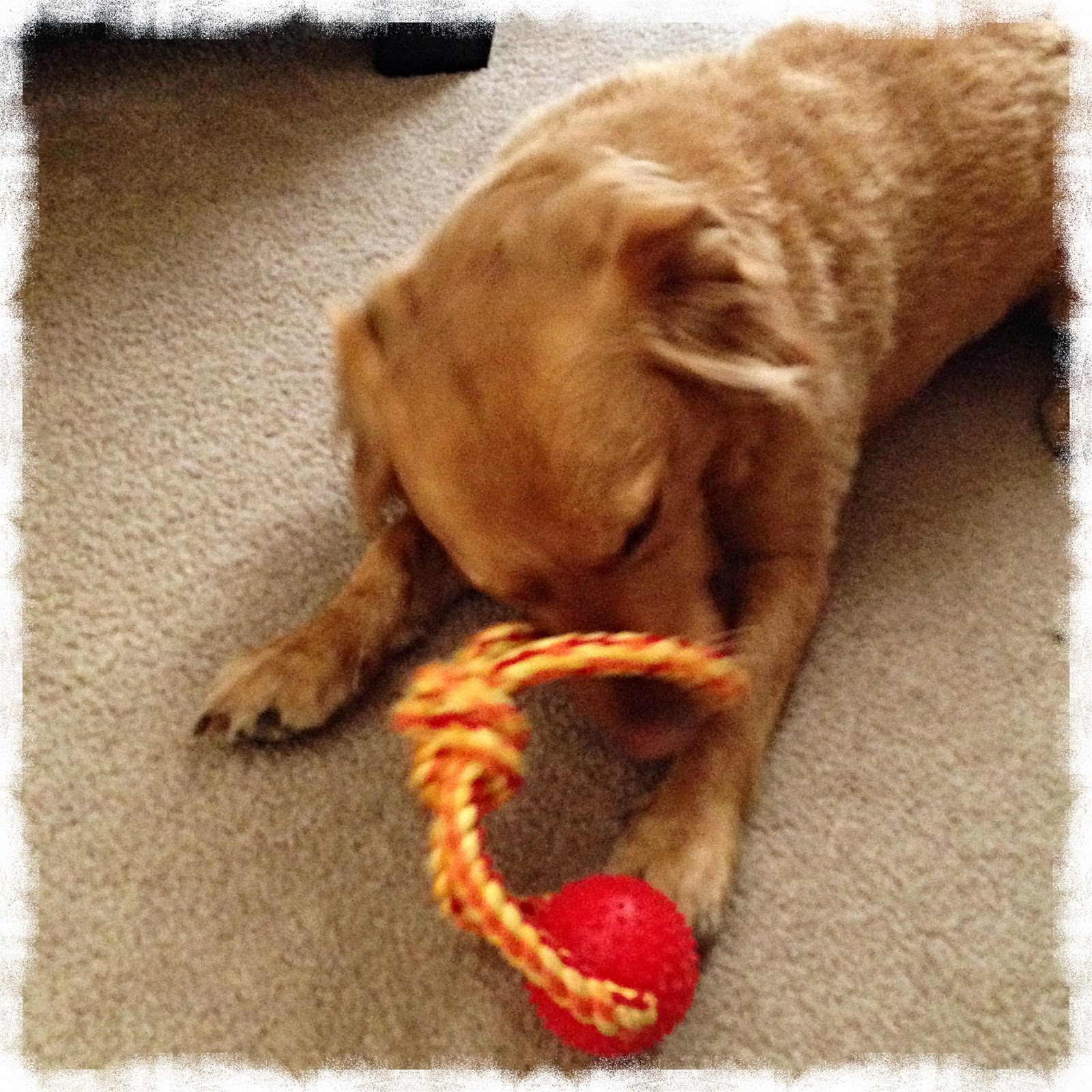 Chester's favorite toy, 11-8-2014 (The 3 Rs Blog)