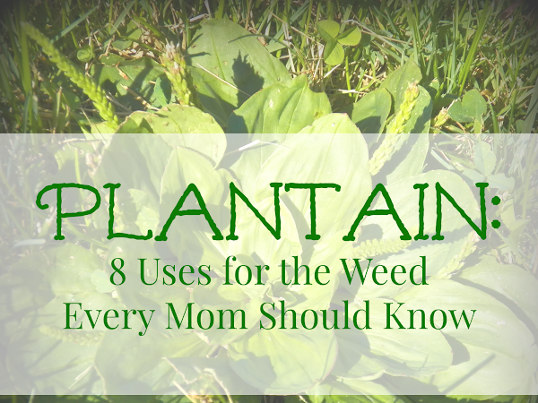 Plantain:  Eight Uses for the Weed Every Mom Should Know