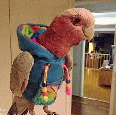 Lustige Tierbilder Papagei in Kapuzenpullover Spassbilder