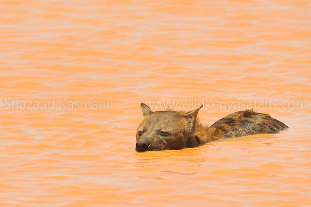Hyena Tsavo, Hyena Swimming, Tsavo East, Wild Kenya Safaris, www.wildkenyasafaris.com, Wildlife Diaries, Shazaad Kasmani, Tsavo East Safari, Kenia Safari In Tsavo Ost, Safari in Kenya