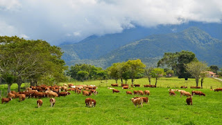 Peternakan sapi di Padang Mangateh