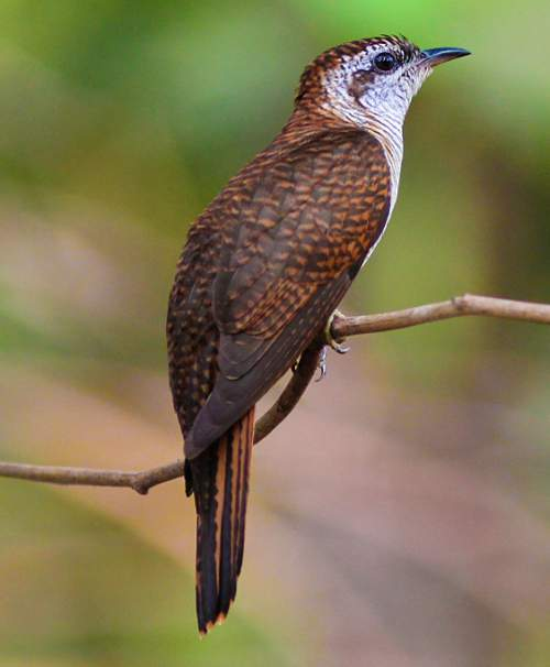 Birds of India - Photo of Banded bay cuckoo - Cacomantis sonneratii