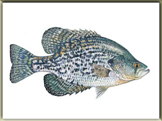 Black Crappie Fish Pictures