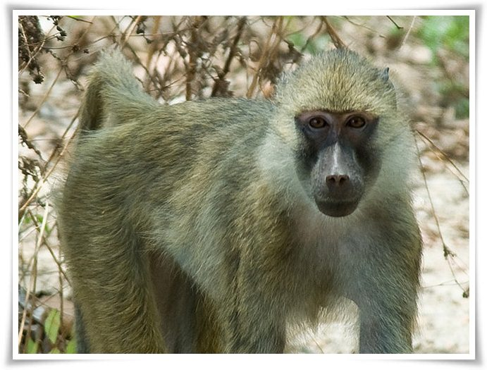 Yellow baboons facts pictures