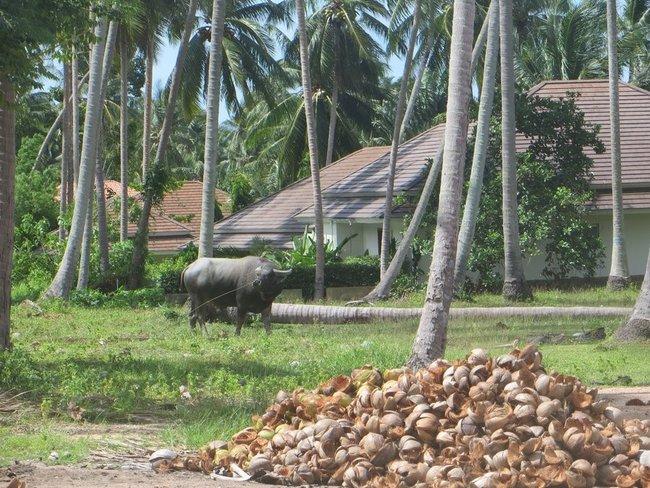 буйвол Самуи, Маенам