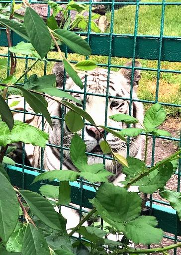 white tiger Paradise Wildlife Park