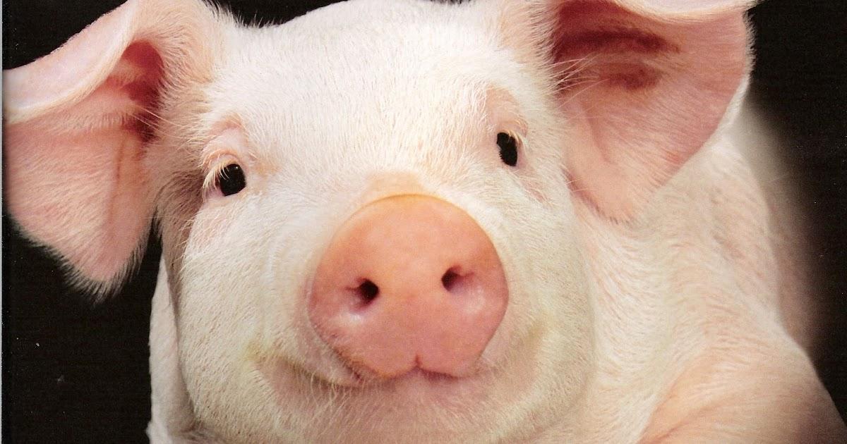 Piggery business plan - Business piggery